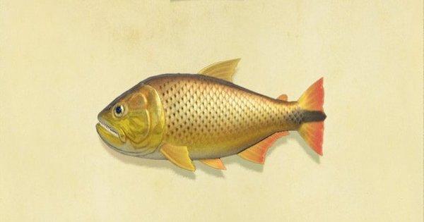 ドラドの値段と釣り方・出現時間