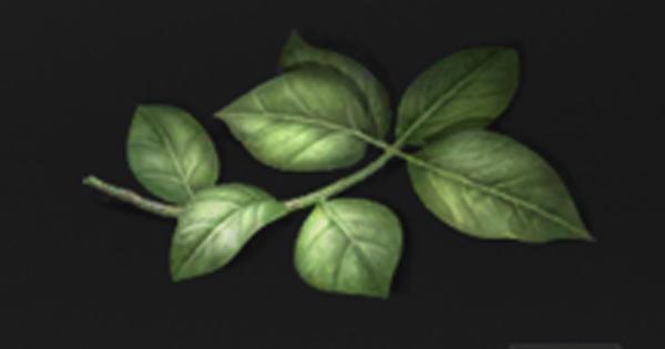 樟木の葉っぱの入手方法