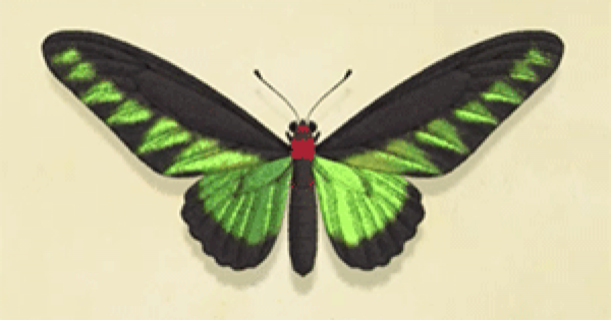 トリバネアゲハ アレキサンドラ