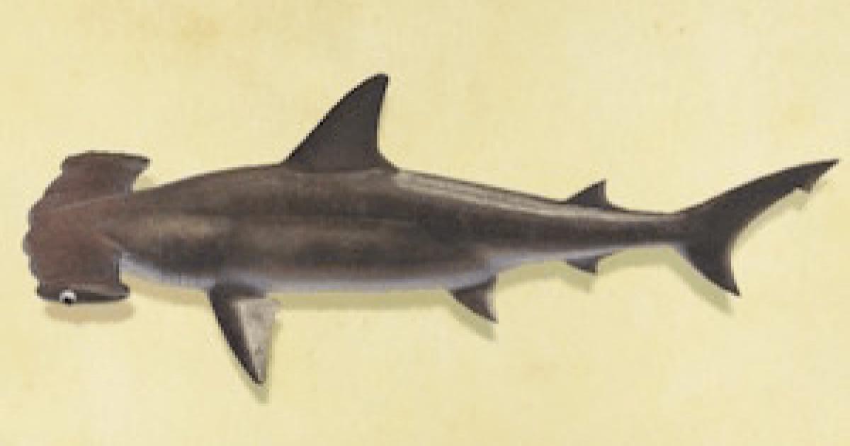 あつ 森 サメ 北半球