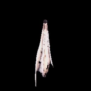 聖域の龍骸布・桜
