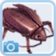 マンドラゴラの種